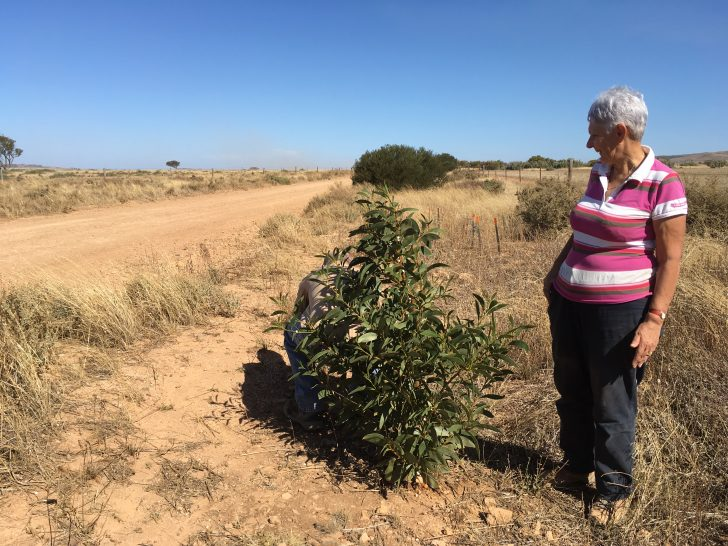 More trees on the Heysen Trail – thank you to our volunteers.