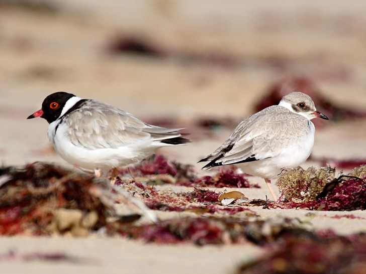 Hooded Plover adult (left) and juvenile (right) by Glenn Ehmke