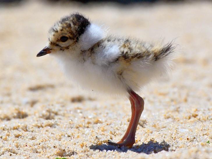 Hooded Plover chick, photo by Glenn Ehmke