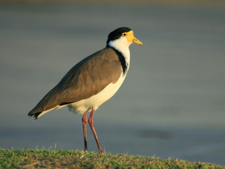 Masked Lapwing (Spurwing Plover), photo by Ash Herrod